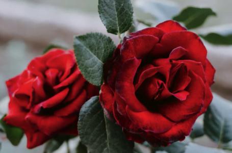 Cadoul perfect pentru jumătatea ta de Sfinții Mihail și Gavriil? Trandafiri criogenați!